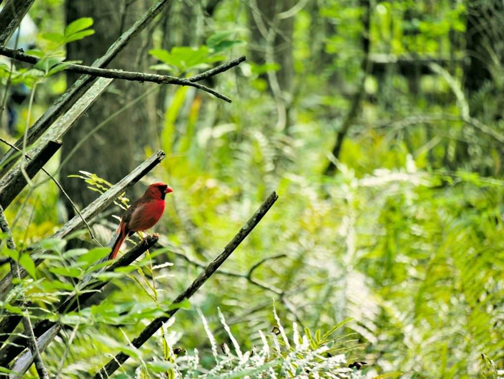 Przepiękny czerwony brzuch. To podobno samczyk.